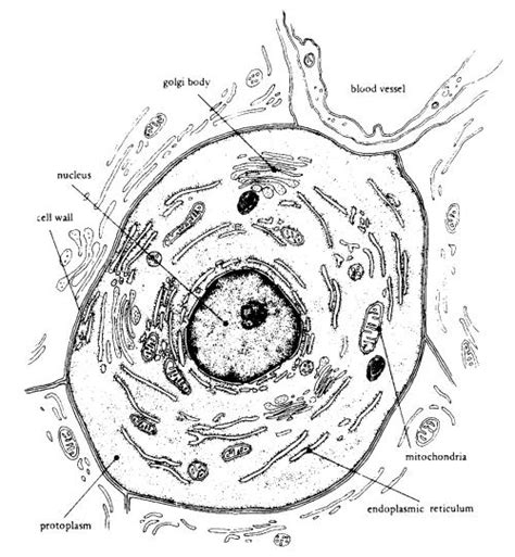 Free Coloring Pages Of Animal Cell Diagram Cells Coloring Pages