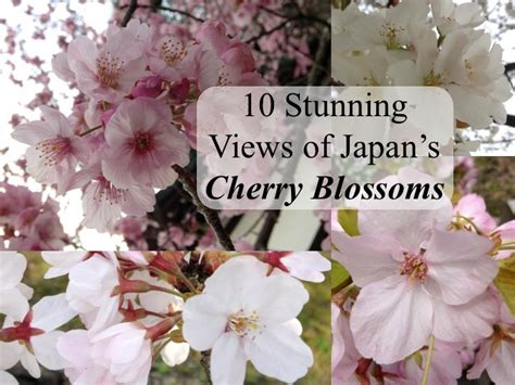 when did japan give us cherry blossoms 10 stunning views of japan s cherry blossoms that will
