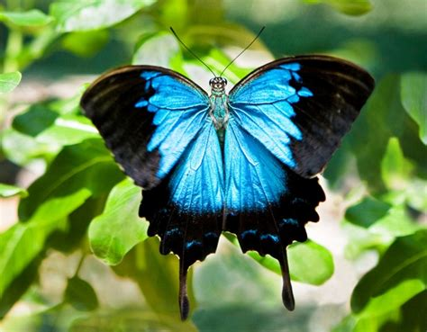 Kupu Hitam gambar kupu kupu biru hitam pernik dunia