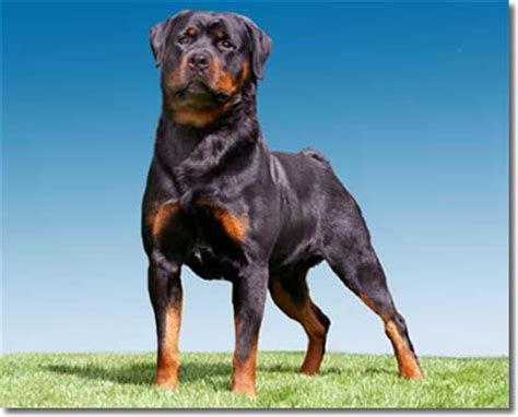 can rottweilers blue rottweiler breed information puppies pictures