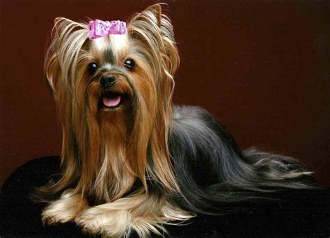 female yorkshire terrier haircut yorkie haircuts for males and females 60 pictures