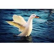 White Duck Images  HD Desktop Wallpapers 4k