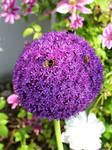 all about ornamental alliums a planting guide for rich spring color