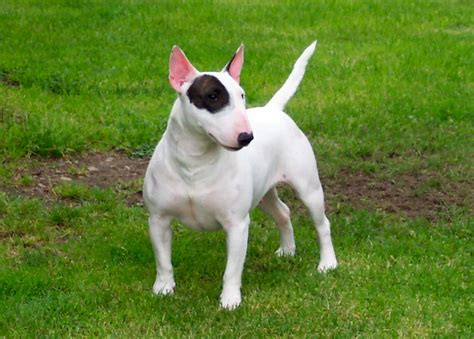 puppy bull terrier miniature bull terrier