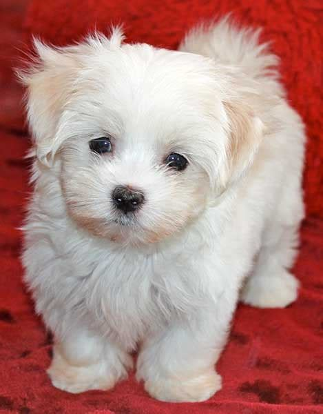 maltese puppies for sale in florida yorkie poo puppies for sale at heavenly puppies breeds picture