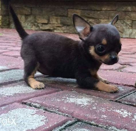 how many puppies do chihuahuas 17 best images about chihuahua dogs on chihuahuas chihuahua dogs and