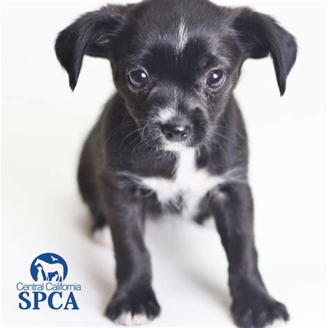 spca shih tzu id 2240576 is a 2 month black and white shih tzu blend central