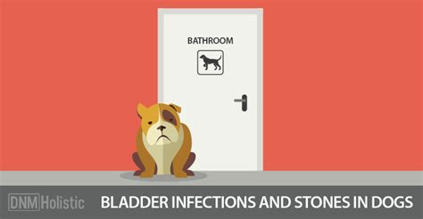 bladder infection in dogs bladder infections in dogs treatment breeds picture