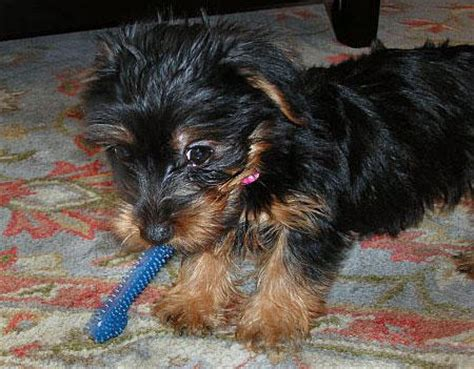 teacup yorkie rescue nc pets elizabeth city nc free classified ads