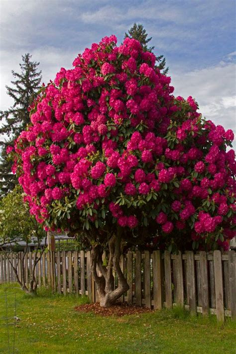 magical rhododendron tree xcitefun net