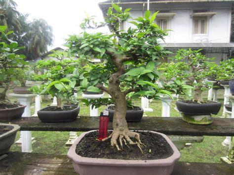 jual beli tanaman hias bonsai sweimi anting bukalapak