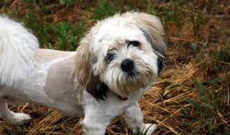 shoodle hair guide shihpoo dog breed information