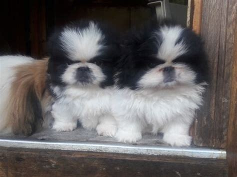puppies for sale asheville nc best 25 pekingese puppies for sale ideas on pekingese puppies pekingese