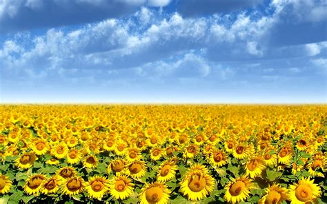 sunflower field sunflower field wallpaper 265822