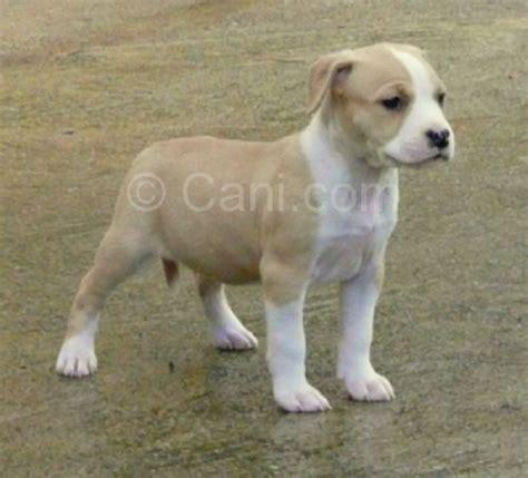 alimentazione amstaff american staffordshire terrier 193424