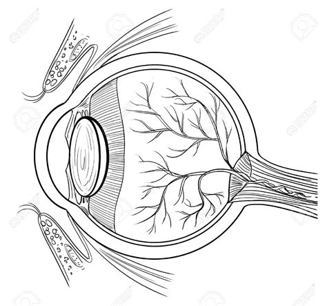 eye anatomy coloring page eyes anatomy clipart clipground