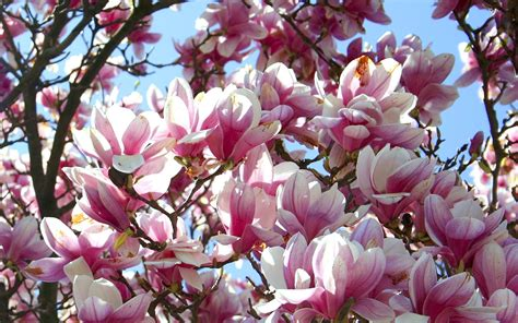 magnolia pink flowers 5370 wallpapers13 com