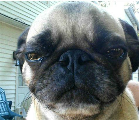 pug eye discharge 5 signs your s eye boogers are caused by something dangerous barkpost