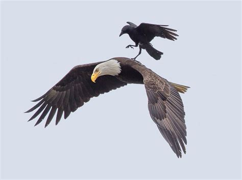 Crow Catches A Ride On The Back Of A Bald Eagle Enpundit Bald Eagle Back