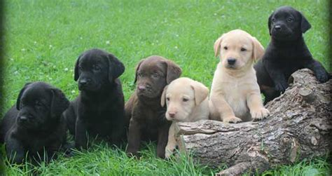 chocolate lab puppies for sale in ct image gallery lab puppies