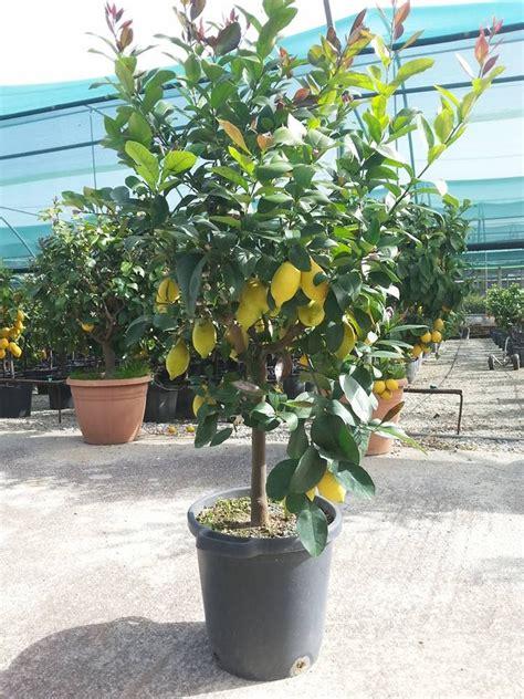 foglie gialle limone vaso pianta di limone con foglie gialle cheap limoni in vaso