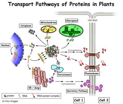 protein transport kragler overview