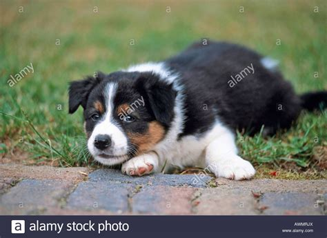 border collie australian shepherd mix puppies mix breed whelp australian border border collie x australian stock photo