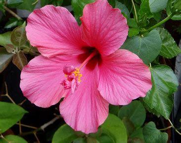 hibiskus zimmerpflanze kaufen zimmerpflanzen tipps zur pflege flowercompany