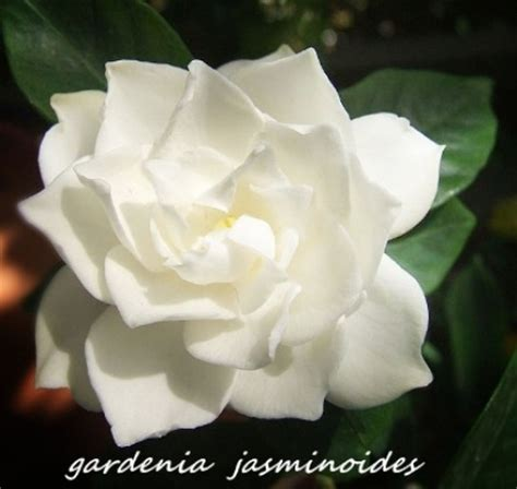 Gardenia Uses Cooking Varieties Food And Health Benefits Image Of
