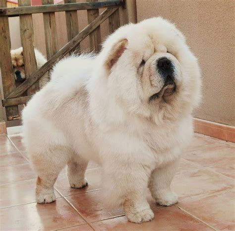 how much are chow chow puppies 25 best ideas about chow chow dogs on chow chow puppies chow chow and
