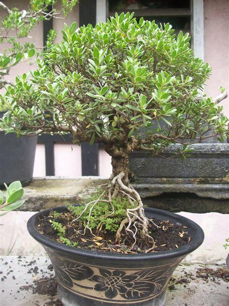 update gambar pohon  bunga bonsai