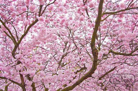 what does a cherry blossom tree symbolize choice image symbol and sign ideas do you know the meaning of cherry blossom allgamein