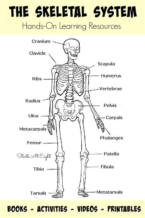 printable toddler size skeleton the skeletal system hands on learning resources