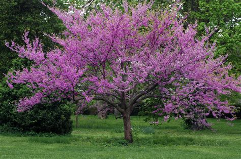 flowering trees and shrubs oak grove tree experts shrub and ornamental tree maintenance