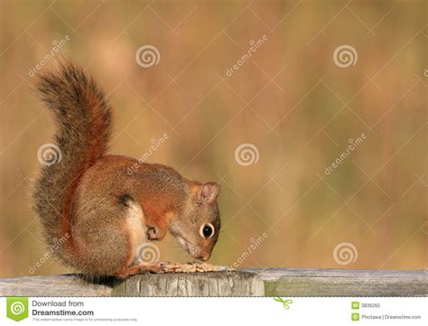 squirrel sniffing food royalty free stock photo image 3836265