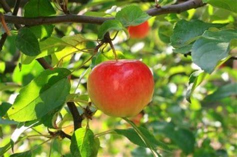 lime sulfur spray for fruit trees my organic fruit tree program 1 dormant 2 3 lime