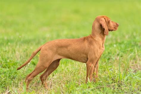 vizsla puppy cost hungarian vizsla breed information buying advice photos and facts pets4homes