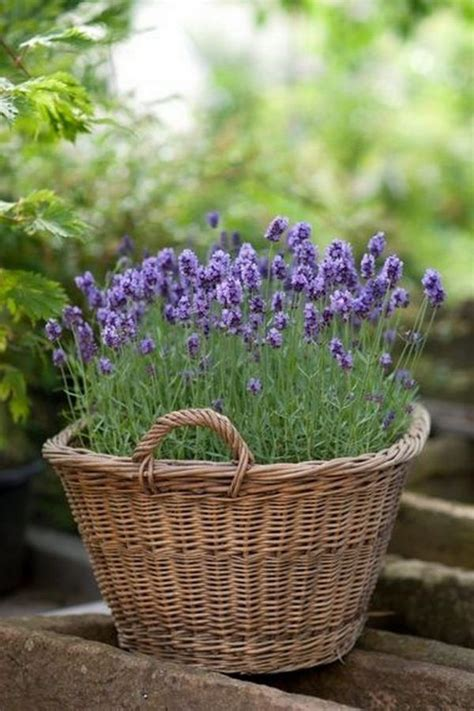 25 best ideas about lavender plants on pinterest full sun landscaping lavender care and