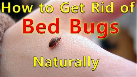 How To Get Rid Of Bed Bugs In A by How To Get Rid Of Bed Bugs Naturally Bed Bug Treatment