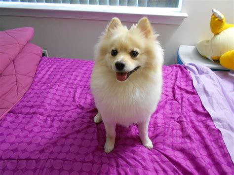 pomeranian bed 12 realities that new pomeranian owners must accept