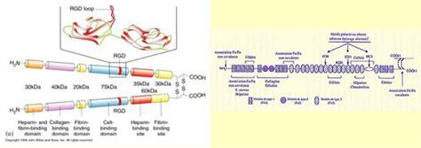 cours de biologie du developpement de licence la matrice