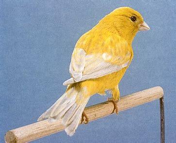 alimentazione canarini gialli canarino