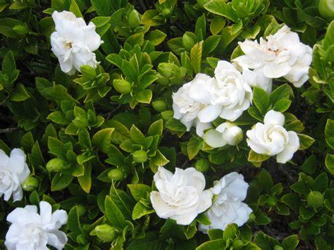 Gardenia Types Shrubs The Trees Flowers Of Whangarei