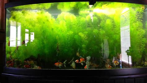 Planted Bristol Shubunkin Goldfish tank   YouTube