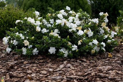 Gardenia Shrub Proof Gardenia Buy Large Proof Gardenias