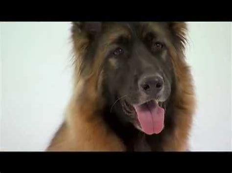 dogs 101 golden retriever animal planet dogs 101 golden retriever doovi