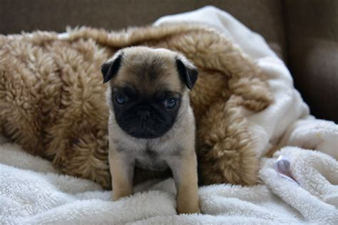pug puppies leicester beautiful fawn pug puppies leicester leicestershire pets4homes