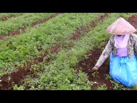 Bibit Tanaman Wortel pertanian budidaya tanaman wortel