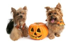 yorkie constipation barf diet 174 puppy tummy ache reach for pumpkin not pepto