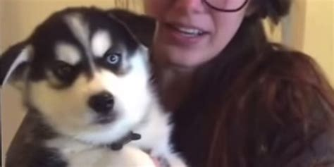 talking husky puppy listen up everybody ramsey the husky puppy has some important things to say